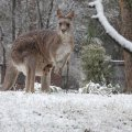 roo-in-snow.jpg.jpg